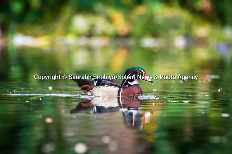 "A beautifully coloured American wood duck has been spotted almost 10,000 miles away from its native home in North America, swimming in a pond in the city of Howrah, in West Bengal, India. <br /> <br /> The pictures were taken by photographer Saurabh Sirohiya in the neighbourhood of Bally in India. <br /> <br /> The 34 year old said ""India has many native ducks, such as Lesser Whistling Duck, Ruddy Shelduck, Northern Shoveler. However the American wood duck is certainly not one of them!""<br /> <br /> ""It is such a beautiful colour, however how it got here is not yet known. Someone may have brought it over as a pet, we don't know.""<br /> <br /> Please byline: Saurabh Sirohiya/Solent News<br /> <br /> © Saurabh Sirohiya/Solent News & Photo Agency<br /> UK +44 (0) 2380 458800"