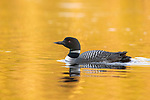 Common loon swimming in the last rays of sunlight.