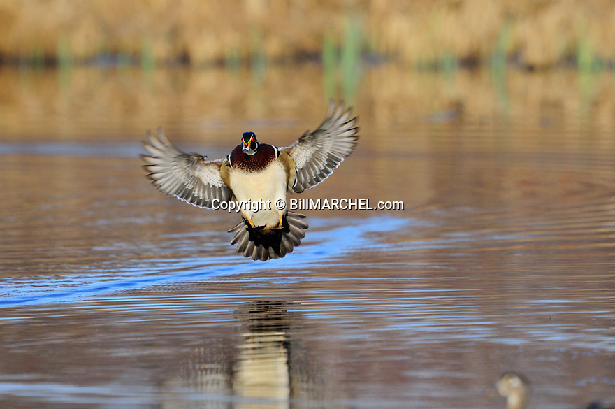 00360-104.09 Wood Duck drake in flight is about to land on marsh. Fly, action, waterfowl, hunt.