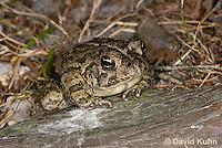 0602-0915  Fowler's Toad, Anaxyrus fowleri [syn: Bufo fowleri (Bufo woodhousii fowleri)]  © David Kuhn/Dwight Kuhn Photography