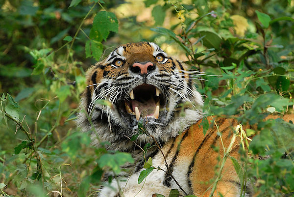 Tiger (Panthera tigris), adult growling, Thailand