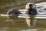 Sea Otter (Enhydra lutris) mother and pup swimming, Elkhorn Slough, Monterey Bay, California