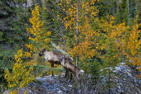 Woodland Caribou or forest-dwelling caribou (Rangifer tarandus caribou) cow with 3 1/2 month old calf.  British Columbia.  Fall.