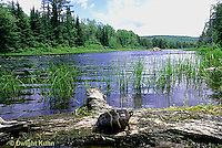 1R13-031z  Painted Turtle - on log sunning itself, marsh plants, beaver lodge - Chrysemys picta