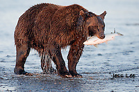 A photo of a coastal brown bear with a salmon in its mouth. Grizzly Bear or brown bear alaska Alaska Brown bears also known as Costal Grizzlies or grizzly bears Grizzly Bear Photos, Alaska Brown Bear with cubs. Purchase grizzly bear fine art limited edition prints here Grizzly Bear Photo Bear Photos,