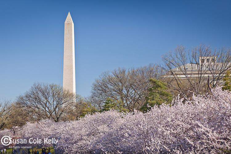 The Washington Monument surrounded by cherry blossoms, Washington, DC, USA