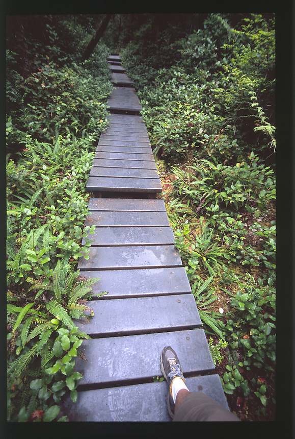 Hiker Steps onto Boardwalk on the Hall of Mosses Trail at the Hoh Rain Forest, Olympic National Park, Washington, US