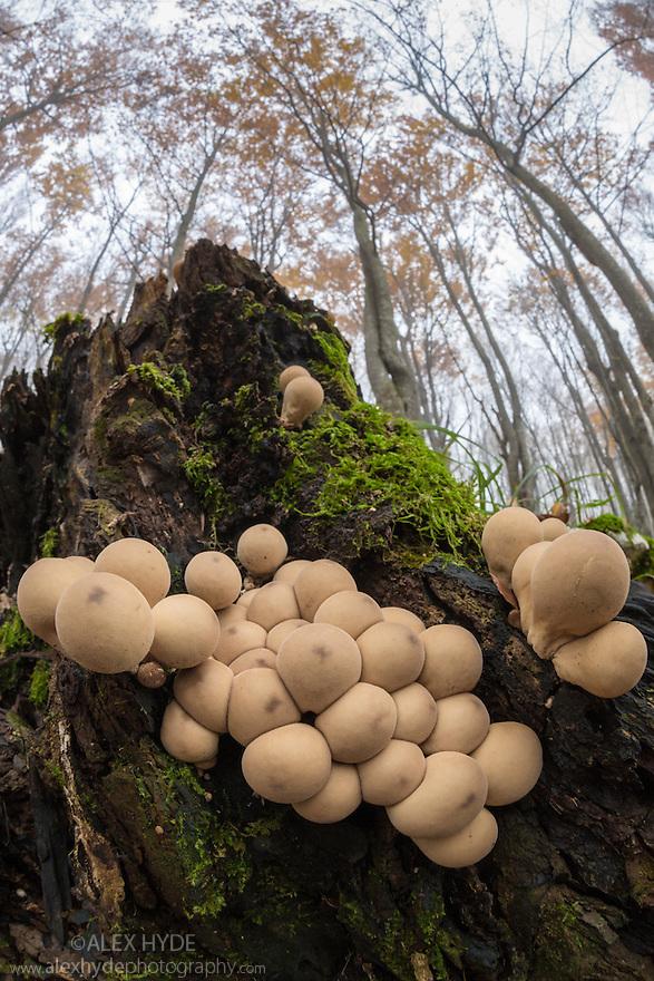 Stump Puffball {Lycoperdon pyriforme} Plitvice Lakes National Park, Croatia. November.