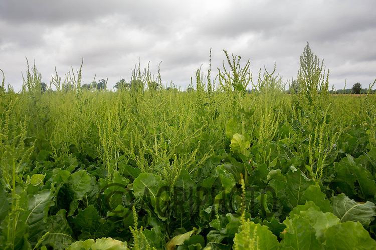 Weed beet.<br /> Picture Tim Scrivener 07850 303986