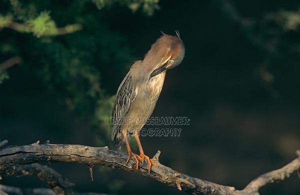 Green Heron, Butorides virescens, adult preening, Starr County, Rio Grande Valley, Texas, USA, May 2002