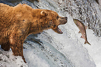 Brown bears fish for red salmon at the Brooks River falls, Katmai National Park, southwest, Alaska.