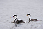 Lake Hodges, Escondido, San Diego, California; a mating pair of Western Grebes (Aechmophorus occidentalis), with two chicks tucked under the feathers on the mother's back, swimming across the surface of the lake