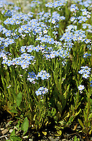 Sumpf-Vergissmeinnicht, Sumpfvergissmeinnicht, Vergissmeinnicht, Myosotis scorpioides, syn. Myosotis palustris, Water Forget-me-not, True Forget-me-not