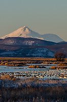 Mount Shasta with snow geese, white-fronted geese, tundra swans and other waterfowl during late winter/early spring migration.  Lower Klamath National Wildlife Refuge, California-Oregon border.  Early morning sunrise. Frosty.