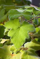 Pelargonium tomentosum peppermint scented geranium