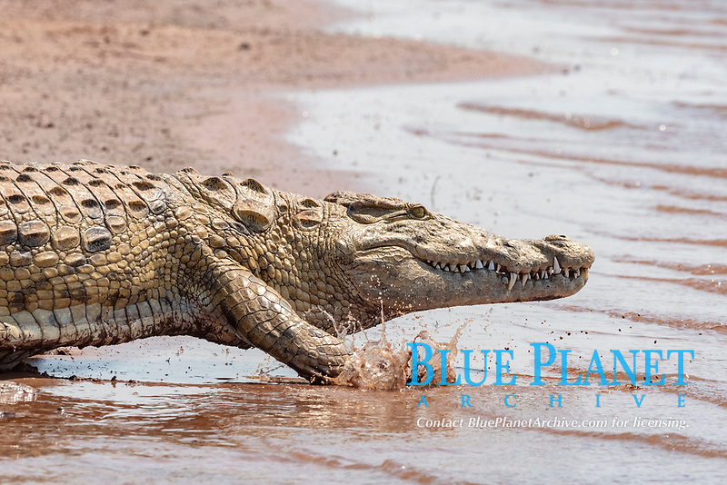 Nile crocodile, Crocodylus niloticus, adult, running for the water, Lake Kariba, Zimbabwe