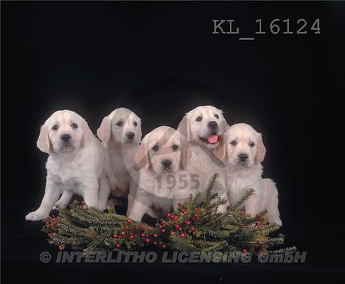 Interlitho, Alberto, ANIMALS, dogs, photos, 5 retriever puppies(KL16124,#A#) Hunde, perros