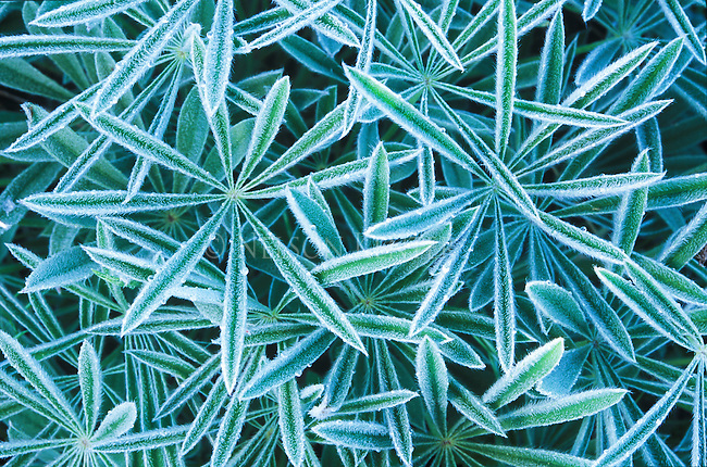 Lupine leaves with frosty edges on a cool spring morning in Montana