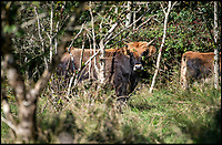 BNPS.co.uk (01202 558833)<br /> Pic: PhilYeomans/BNPS<br /> <br /> Enormous Heck cattle forage through the scrub - the Nazi engineered cattle are the closed living relative to stone age Aurochs that once roamed Britain.<br /> <br /> Back to the future - A farmer is returning his land back to the Stone Age and reintroducing species of wild animals once extinct in the UK - after becoming disenchanted with 'unsustainable' modern farming techniques.<br /> <br /> Derek Gow is using a herd of Nazi-engineered cows to spearhead his radical rewilding scheme that will create the farming version of Jurassic Park.<br /> <br /> The Heck cows that died out in the Iron Age were re-established in Nazi Germany in the 1930s as part of a genetics programme to create a breed of super cattle.<br /> <br /> Joining them on Mr Gow's 115 acre ring-fenced plot of upland in Devon will be rabbit-eating wildcats, wild boar and beavers.