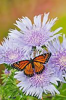 Viceroy (Limenitis archippus) butterflies on Stokes' Aster (Stokesia laevis) flowers, summer, North America.