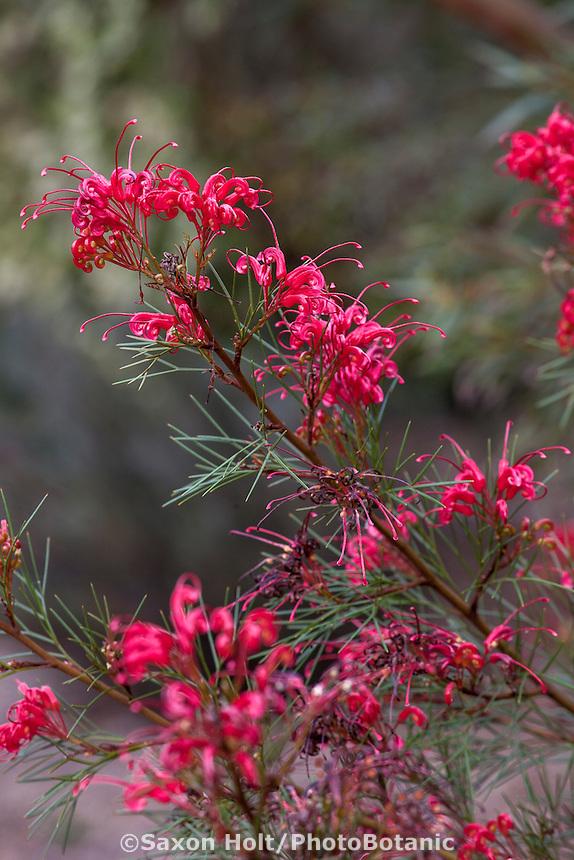 Grevillea 'Bonfire', red flowering shrub; Australian Native Plant Nursery, Ventura, California