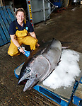 Pictured:  Dr Jen Lewis a Sussex Inshore Fisheries and Conservation Authority Fisheries & Conservation Officer with the bluefin tuna.<br /> <br /> An enormous, rare fish which is one of the world's most expensive species has washed up on the English coast.  The 'remarkable' giant tuna is a delicacy in Japan and one once sold at a record £2.5 million at auction.<br /> <br /> The 180kg (28 stones 4lbs) tuna mysteriously made its way into Chichester Harbour, West Sussex, where it was found dead.  SEE OUR COPY FOR DETAILS.<br /> <br /> Please byline: Sussex IFCA/Solent News<br /> <br /> © Sussex IFCA/Solent News & Photo Agency<br /> UK +44 (0) 2380 458800