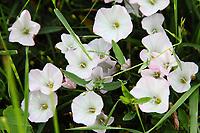 "Pink and white wild flowers: Bindweed flowers (Paris, 2010).<br /> <br /> Fiori selvatici rosa e bianchi: ""Convolvolus arvensis"" (Parigi, 2010)."