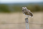 Burrowing Owl, Washington