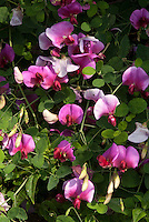 Perennial Sweet peas Lathyrus grandiflorus