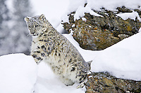 Snow Leopard leaning against a snowy rock while the snow falls - CA