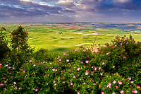 Wild rose bush in bloom taken from Steptoe Butte. The Palouse near Colfax, Washington