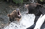 Bears in ferocious water fight by Wayne Duke