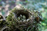 GERMANY, Plau, forest, bird crest / DEUTSCHLAND, Plau, Wald, Vogelnest