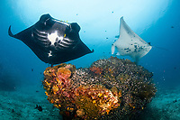 reef manta ray, Manta alfredi, at cleaning station, Manta Sandy dive site, Raja Ampat, West Papua, Indonesia, Indo-Pacific Ocean
