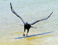 Zone-tailed hawk taking off from Colorado River with small bird