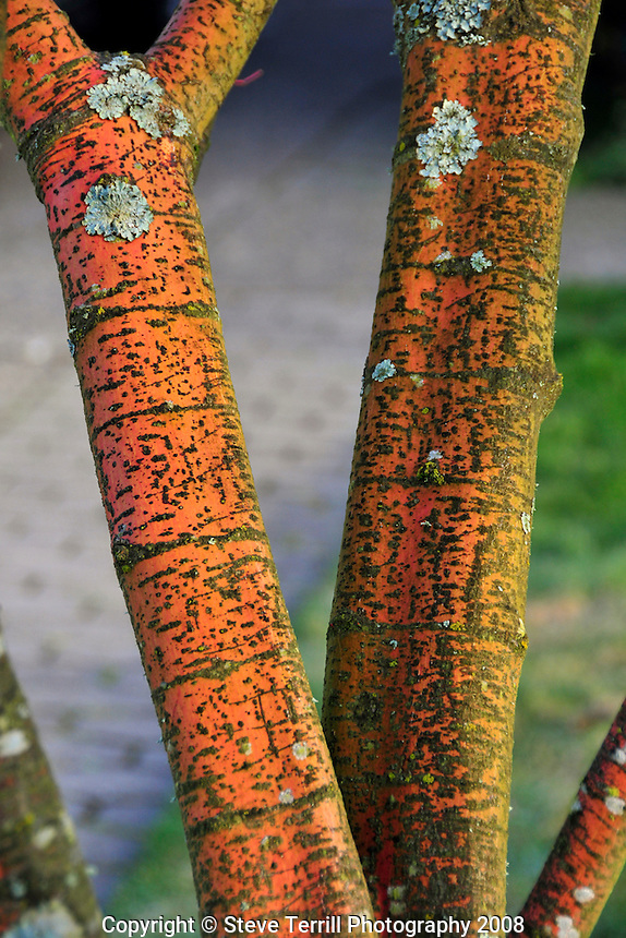 Bark on cherry tree in Multnomah County Oregon