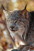 Portrait of a lynx (felis lynx) in autumn
