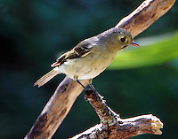 Hutton's vireo after bath