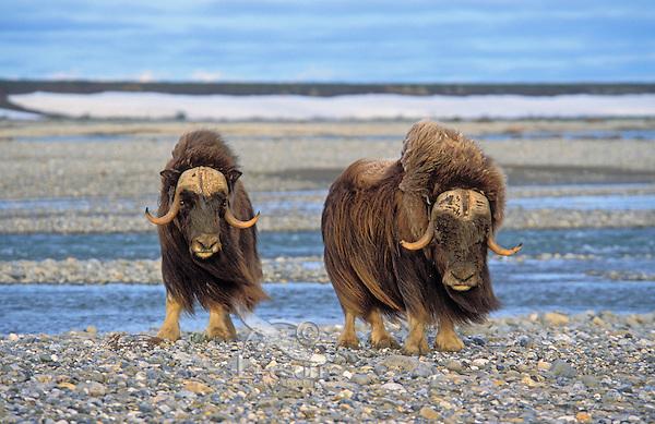 Muskoxen on shingle shore.<br /> Arctic National Wildlife Refuge, Alaska.<br /> Summer. Ovibos moscchatus.