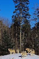 Pack of Gray Wolves (Canis lupus).  Canada.  Winter.