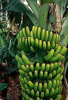 Spanien, Kanarische Inseln, Gomera, Hermigua, Bananenpflanze