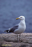 1Z01-024z  Herring Gull - Larus argentatus