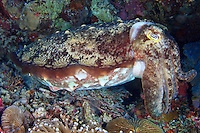 A large Broadclub Cuttlefish ( Sepia latimanus ) hides among the corals of a reef off Wakatobi, in southeast Sulawesi, Indonesia.