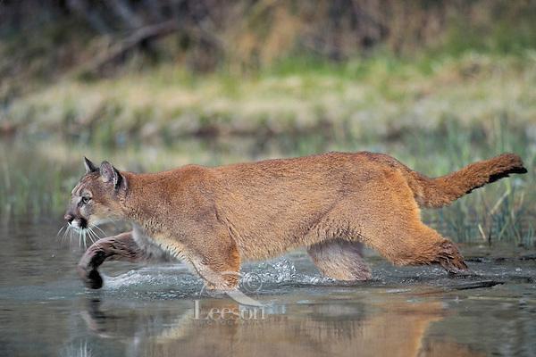 Cougar/Mountain Lion/Puma (Felis concolor) crossing stream in Spring, Rocky Mountains, North America.