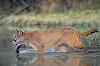 Cougar/Mountain Lion/Puma (Felis concolor) crossing stream in Spring, Rocky Mountains, North America.