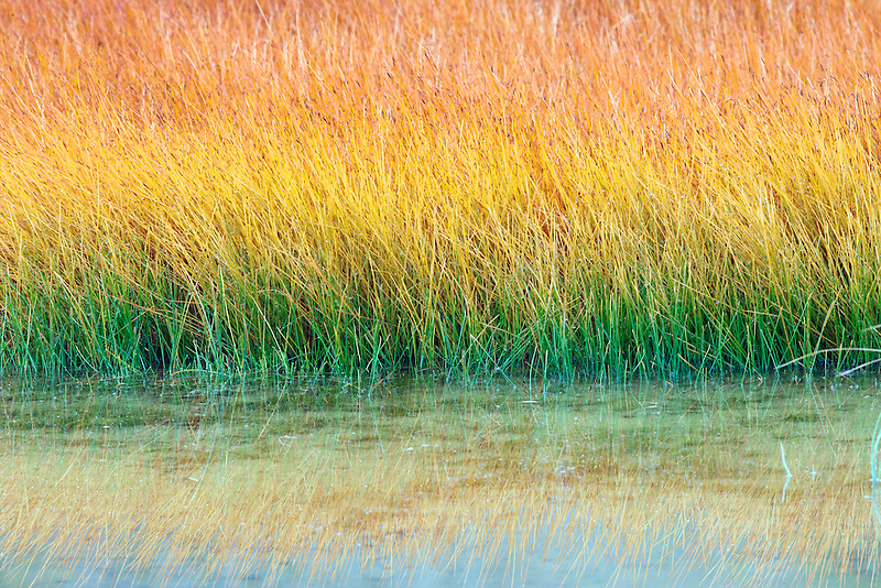 Grasses in hot springs pool in fall. Yellowstone National Park, WY