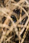 Short-eared owl (Asio flammeus) hiding in the dried marsh grass