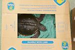 Stranding Sea Turtle In Boxe Ready For Transport, Welfleet Bay Wildlife Sanctuary, Audubon