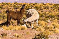 South America, Chile, Lama