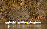 American White Pelican, Pelecanus erythrorhynchos, swimming on Upper Klamath Lake, Oregon